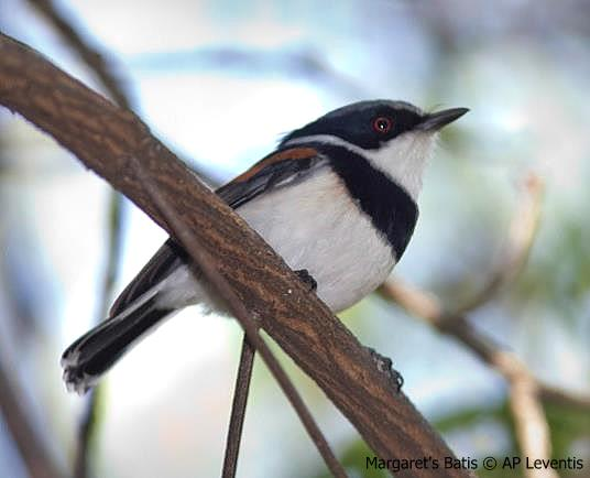 Margaret's Batis photographed during a Birding Africa tour of Angola © AP Leventis