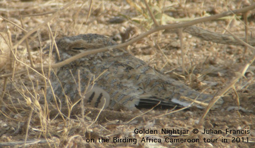 Golden Nightjar on a Birding Africa tour © Julian Francis