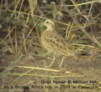 Quail-Plover on a Birding Africa tour to Cameroon in 2011, photographed by Michael Mills