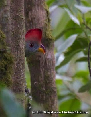 Bannerman's Turaco spotted on a Birding Africa Cameroon Tour