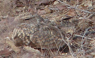 Image of Golden Nightjar, photographed on a Birding Africa tour to Cameroon © Hector Galbraith