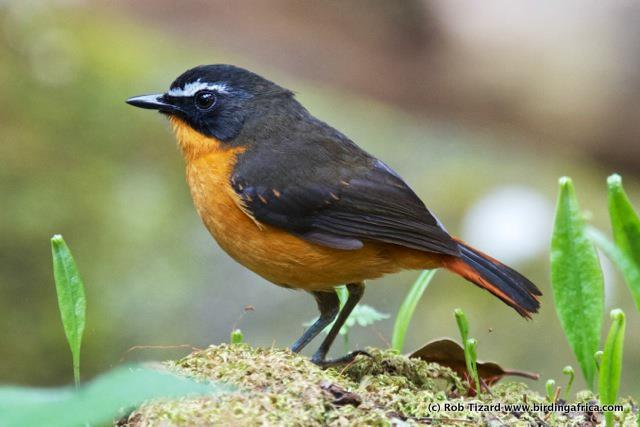 Mountain Robin-Chat on a Birding Africa Cameroon Tour © Rob Tizard