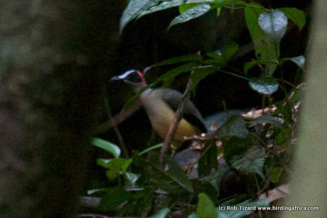 Red-headed Picathartes on a Birding Africa Cameroon Tour © Rob Tizard