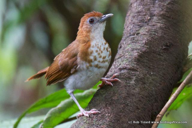 Spotted Thrush-Babbler on a Birding Africa Cameroon Tour © Rob Tizard
