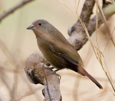 Chad Firefinch photographed on a Birding Africa Cameroon Birding Tour. © Ian Merrill