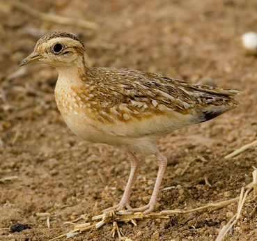 Quail Plover photographed on a Birding Africa Cameroon Birding Tour. © Ian Merrill