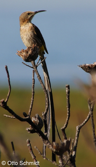 Cape Sugarbird on a Birding Africa day trip &copy Otto Schmidt;