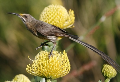 Cape Sugarbird on a Cape Birds & Flowers tour © Callan Cohen.