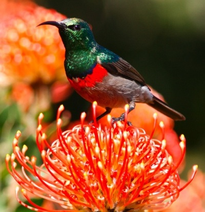 Southern Double-collared Sunbird on a Cape Birds & Flowers trip © Callan Cohen.