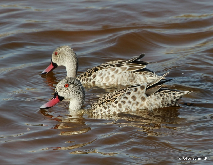 Cape Teal photographed on this Birding Africa day trip © Otto Schmidt