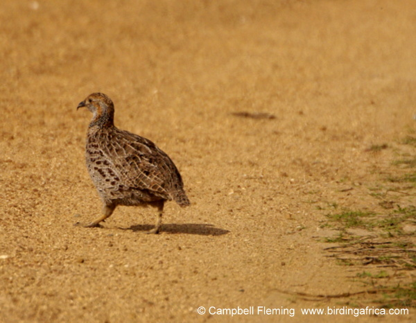 Grey-winged Francolin © Campbell Fleming