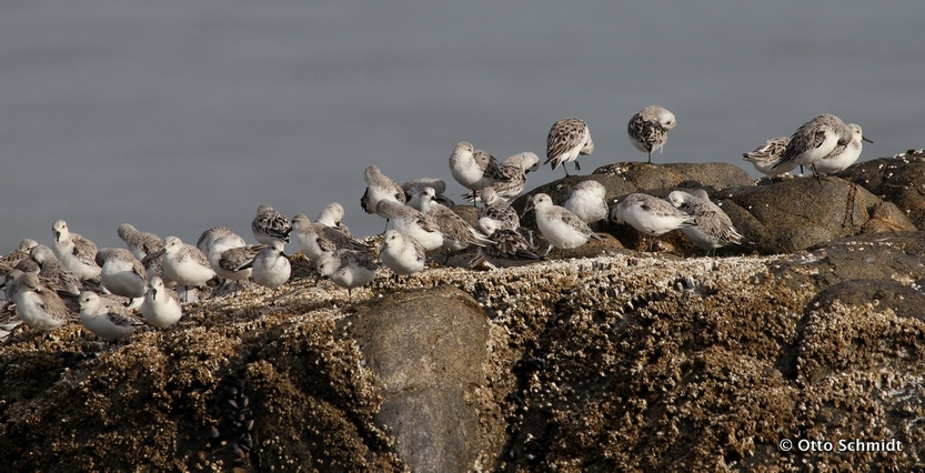 Sanderling on this Birding Africa day trip © Otto Schmidt