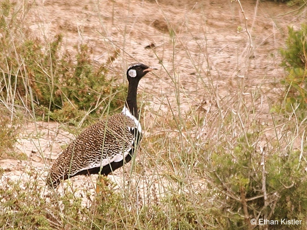 Southern Black Korhaan photographed by guide Ethan Kistler during a Birding Africa day trip