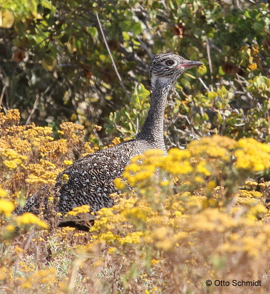 Female Southern Black Korhaan on a Birding Africa day trip © Otto Schmidt