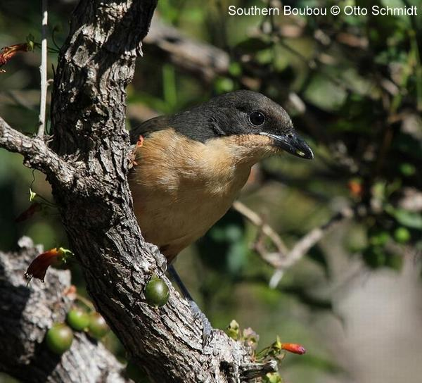 Southern Boubou photographed by Otto Schmidt on a Birding Africa Tour