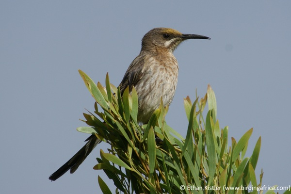 Cape Sugarbird during a Birding Africa Hottentot's Holland day trip © Ethan Kistler