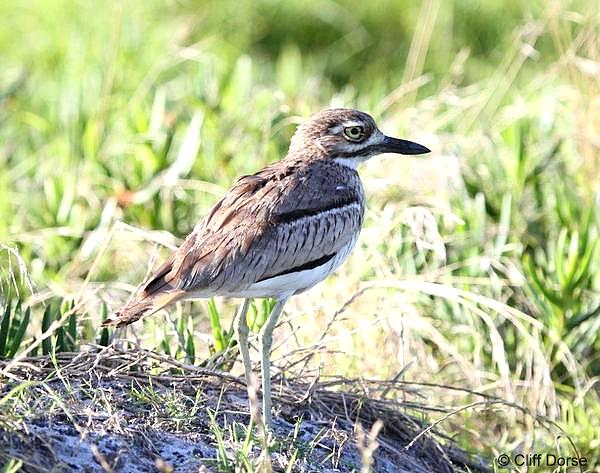 Water Thick-knee © Cliff Dorse
