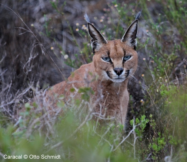 Caracal photographed by Otto Schmidt on a Birding Africa Tour