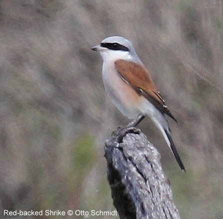 Red-backed Shrike photographed by Otto Schmidt on a Birding Africa Tour