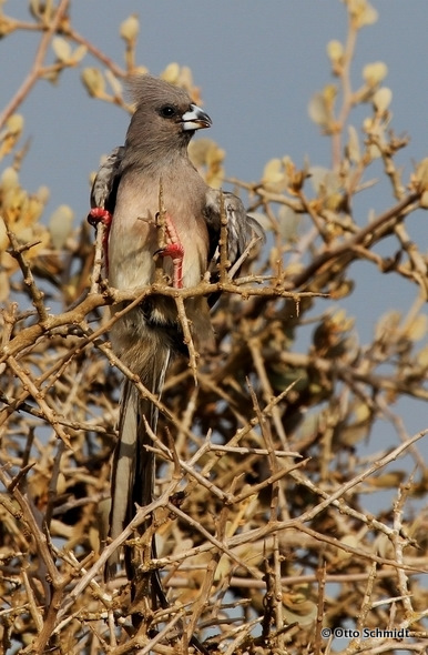 White-backed Mousebird on this Birding Africa day trip © Otto Schmidt