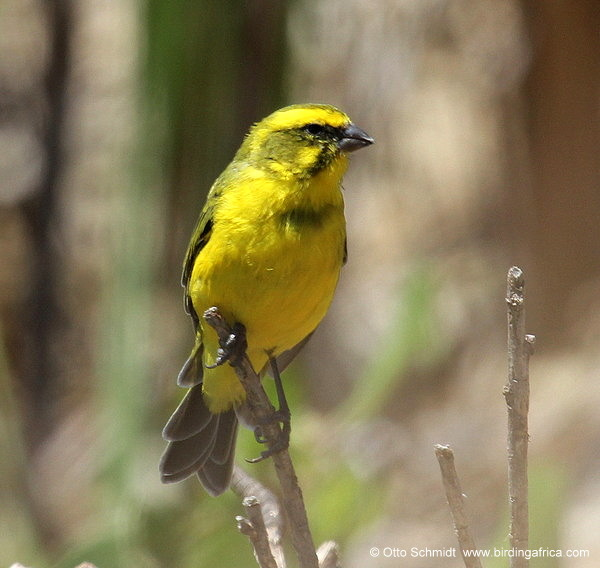 Yellow Canary during a Birding Africa West Coast tour © Otto Schmidt