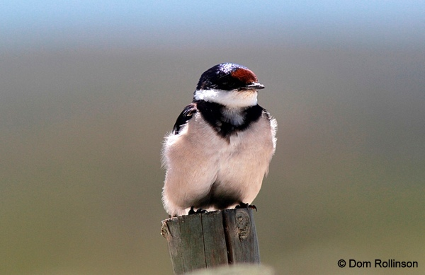 White-throated Swallow © Dominic Rollinson