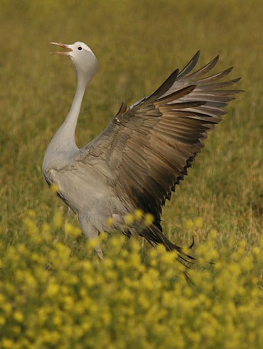 See Blue Crane, a Cape endemic, on a Birding Africa day trip from Cape Town © Callan Cohen