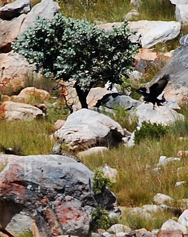 Verreaux's Eagle mobs Cape Leopard in the Cederberg Mountains © Derick Oosthuizen
