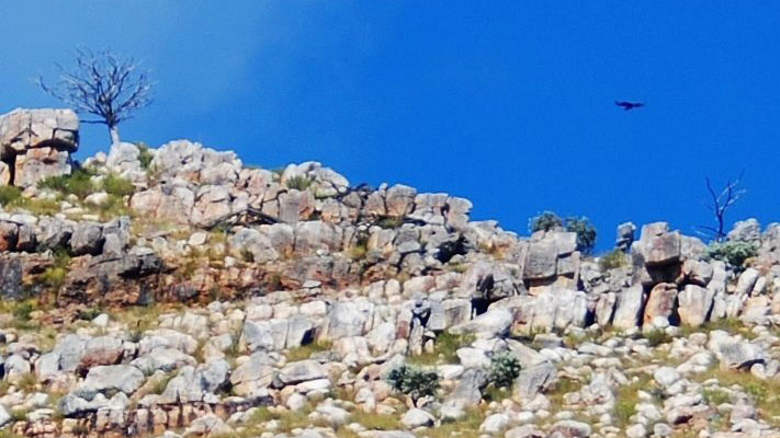 Verreaux's Eagle in the Cederberg Mountains © Derick Oosthuizen