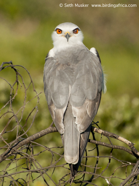 Black-shouldered Kite © Seth Musker www.birdingafrica.com