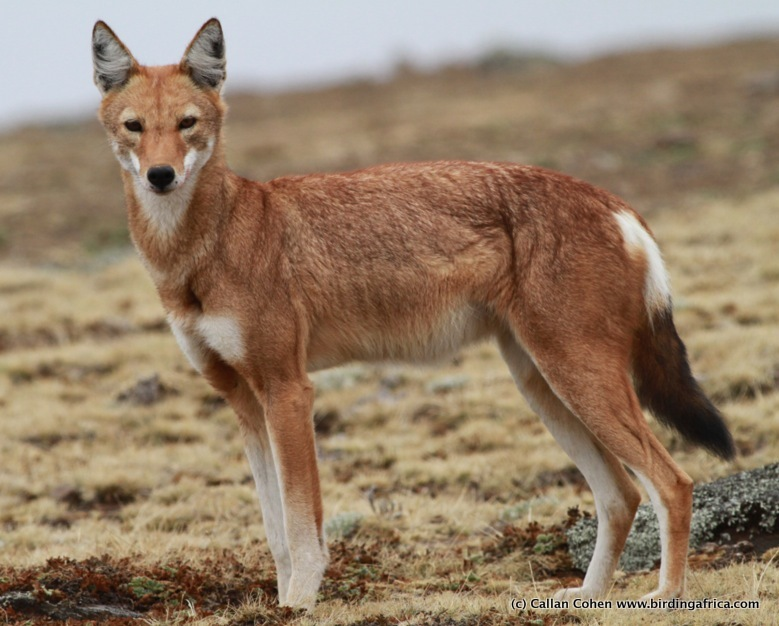 Among all carnivores, the Ethiopian Wolf is the most endangered, with only 400 to 600 remaining! We make a special effort to search for them in the Bale Mountains. Photographed on a Birding Africa Ethiopia tour © Callan Cohen