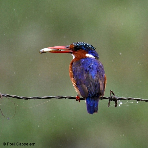 Malachite Kingfisher © Poul Cappelørn during a Birding Africa tour of the Garden Route.