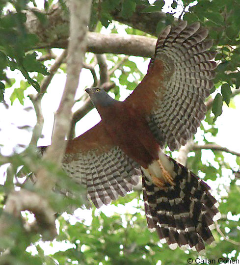 Long-tailed Hawk on a Ghana birding tour by tour leader Callan Cohen