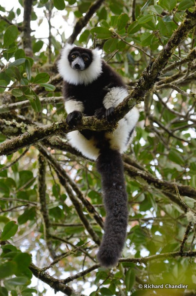 Black-and-white Ruffed Lemur © Richard Chandler