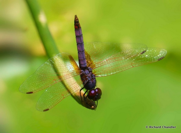 Violet Dropwing of Madagascar © Richard Chandler