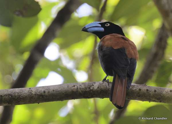 Helmet Vanga photographed on a Birding Africa tour of Madagascar © Richard Chandler