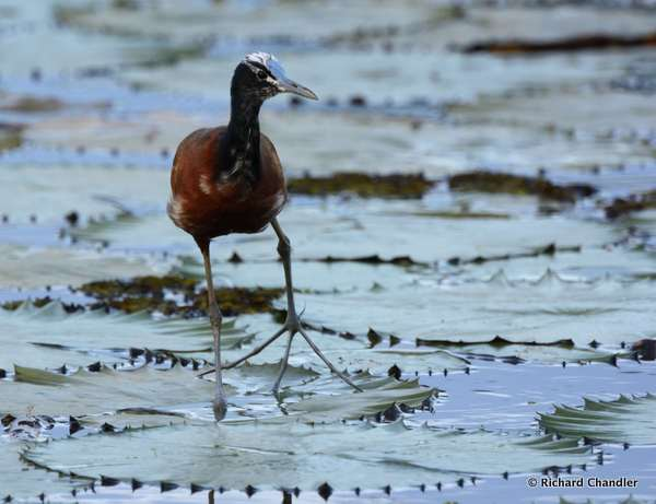 Madagascar Jacana © Richard Chandler