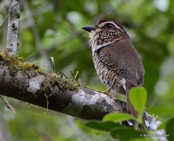Short-legged Ground Roller © Richard Chandler