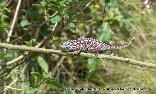 Jewel Chameleon, Furcifer lateralis © Andy Sims on a Birding Africa Madagascar Tour