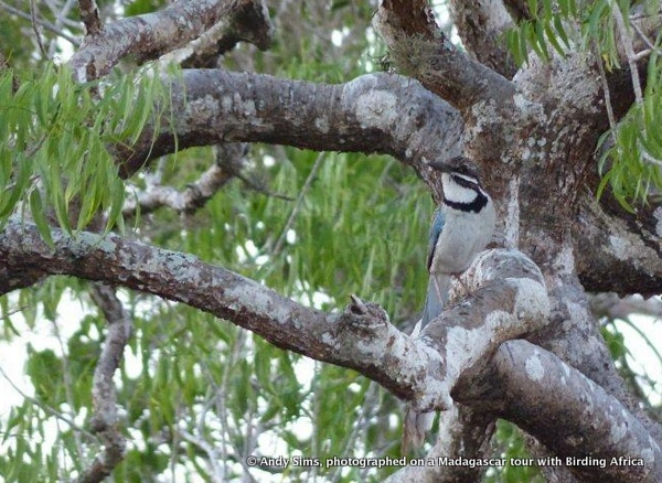 Long-tailed Ground Roller © Andy Sims on a Birding Africa Madagascar Tour