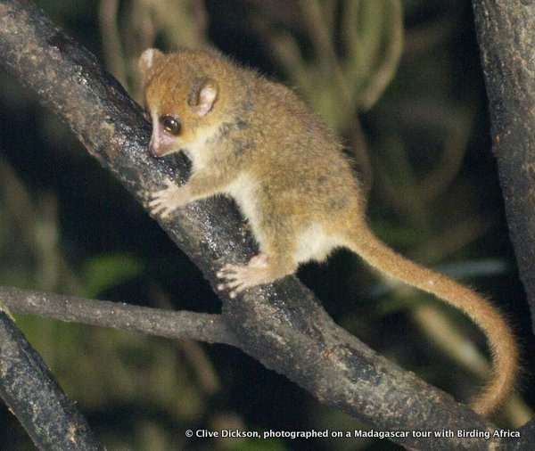 Rufous/Brown Mouse Lemur, Microcebus rufus © Clive Dickson on a Birding Africa Madagascar Tour