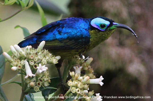 Common Sunbird-Asity posing at eye-level, Ranomafana National Park © Callan Cohen & Deirdre Vrancken www.birdingafrica.com