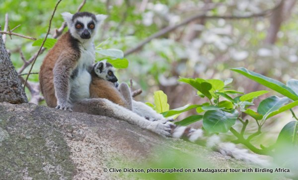Ringtailed Lemur, Lemur catta, is the most terrestrial of all lemurs © Clive Dickson on a Birding Africa Madagascar Tour
