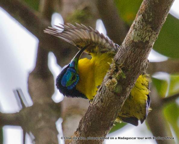 Yellow-bellied Sunbird-Asity © Clive Dickson on a Birding Africa Madagascar Tour
