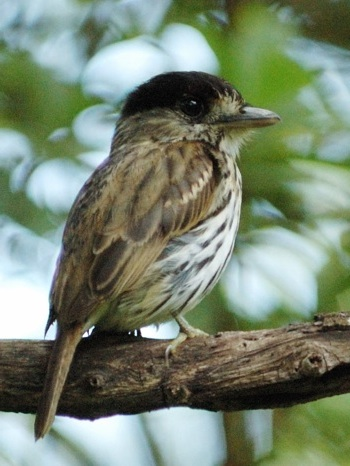 African Broadbill photographed in Lilongwe Sanctuary on a Malawi tour © Jon Hemp