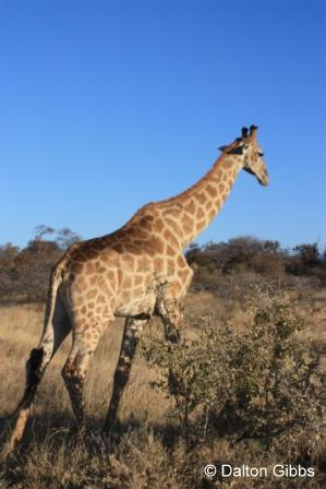 Southern Giraffe photographed during a Birding Africa tour of Namibia
