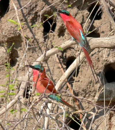 Southern Carmine Bee-eaters at the Kavango River photographed on                this Birding Africa tour © Utz Klingenböck
