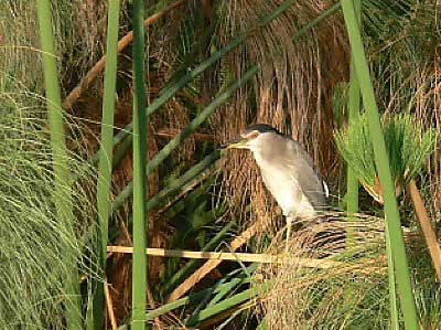 Black-crowned Night-heron at the Kavango River photographed on this Birding Africa tour © Utz Klingenböck
