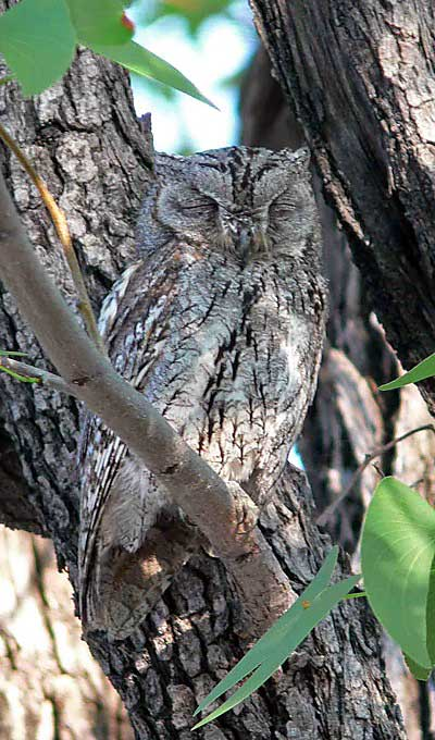 African Scops Owl in Etosha National Park photographed on this Birding                Africa tour © Utz Klingenböck
