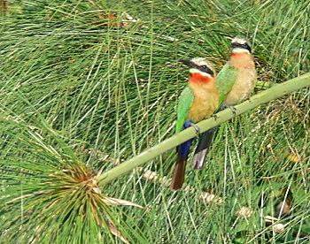 White-fronted Bee-eaters at the Kavango River photographed on this Birding Africa tour © Utz Klingenböck